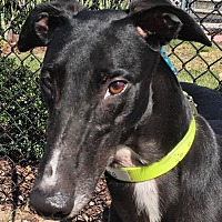 Adopt A Pet :: AMF Octavius - Longwood, FL