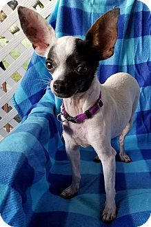 Chihuahua Mix Dog for adoption in Houston, Texas - Alfalfa