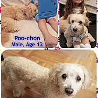 Bichon Frise/Poodle (Miniature) Mix Dog for adoption in East Hanover, New Jersey - Ziggy