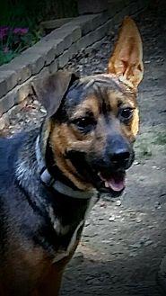 German Shepherd Dog/Feist Mix Dog for adoption in Scottsboro, Alabama - Jack