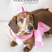 Dachshund Dog for adoption in McKinney, Texas - Sweet Syd