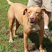 Adopt A Pet :: Whiskey (85 lb) New Pics/Video - Twinsburg, OH