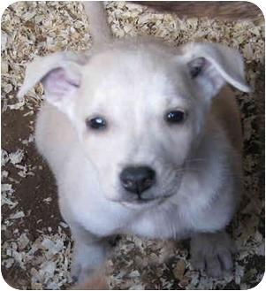Italian Greyhound/Labrador Retriever Mix Puppy for adoption in Poway, California - Nathan