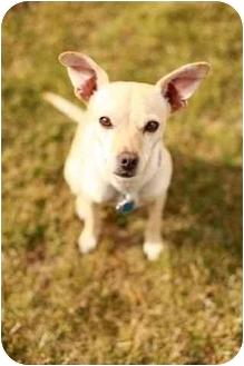 Chihuahua Mix Dog for adoption in Portland, Oregon - Chancho