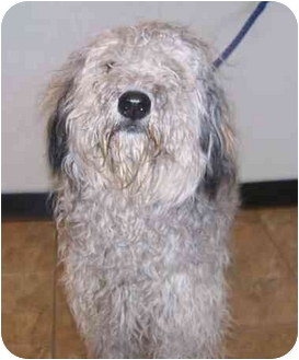 Poodle (Standard)/Old English Sheepdog Mix Puppy for adoption in Oak Ridge, New Jersey - Julia-DOODLE