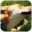 Photo 3 - German Shepherd Dog/Labrador Retriever Mix Dog for adoption in Walker, Michigan - Roxie