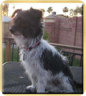 Norfolk Terrier Mix Dog for adoption in Scottsdale, Arizona - Romeo