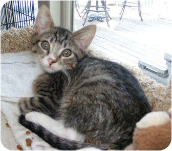 Domestic Shorthair Kitten for adoption in Colmar, Pennsylvania - Mike the Situation