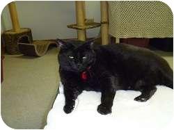 Domestic Mediumhair Cat for adoption in Hamburg, New York - Rockwell
