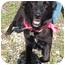 Photo 1 - Shepherd (Unknown Type)/Spaniel (Unknown Type) Mix Dog for adoption in Detroit, Michigan - Suzy-Pending