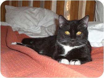 Domestic Shorthair Cat for adoption in Scottsdale, Arizona - Ollie