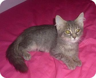Domestic Longhair Kitten for adoption in Birmingham, Alabama - Petro