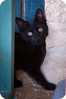 Domestic Shorthair Kitten for adoption in Bulverde, Texas - Kracker