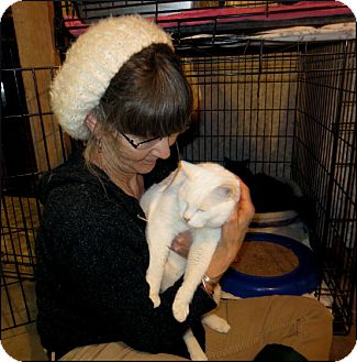 Domestic Shorthair Cat for adoption in Colville, Washington - Lucy