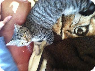 Domestic Shorthair Cat for adoption in Cincinnati, Ohio - Juniper