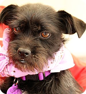 Terrier (Unknown Type, Small) Mix Dog for adoption in San Angelo, Texas - LeeLoo