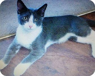Domestic Shorthair Kitten for adoption in Seminole, Florida - Max