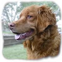 Golden Retriever Mix Dog for adoption in Colorado Springs, Colorado - Honey