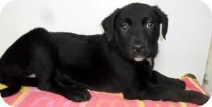 Border Collie/Labrador Retriever Mix Puppy for adoption in Bartonsville, Pennsylvania - Pippa