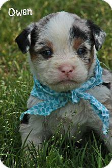 Australian Shepherd Mix Puppy for adoption in Brattleboro, Vermont - OWEN