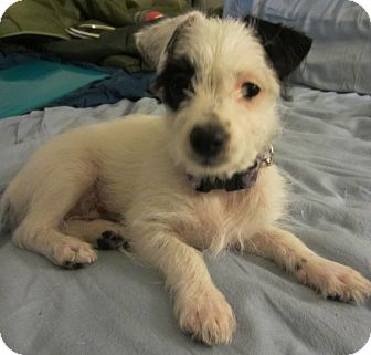 Jack Russell Terrier Mix Puppy for adoption in Tracy, California - Lily-ADOPTED!