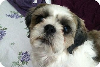 Shih Tzu Mix Dog for adoption in Los Angeles, California - Kahlua