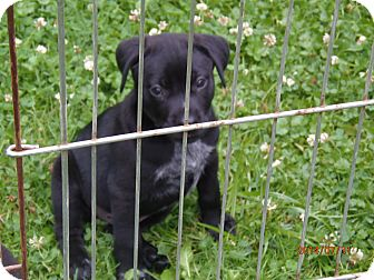 Labrador Retriever/Boxer Mix Puppy for adoption in Freedom, Pennsylvania - Monroe