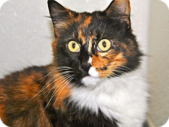 Domestic Longhair Cat for adoption in Long Beach, California - Tulip