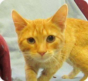 Domestic Shorthair Kitten for adoption in Lloydminster, Alberta - Shredder