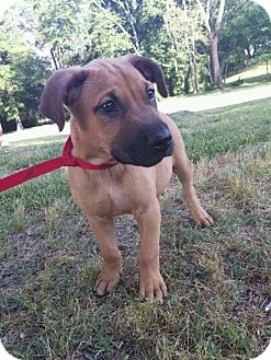 Boxer Mix Puppy for adoption in Harrisburg, North Carolina - Rusty