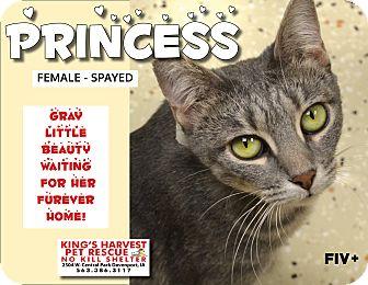 Domestic Shorthair Cat for adoption in Davenport, Iowa - Princess FiV+