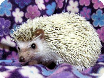 Hedgehog for adoption in Roseburg, Oregon - Violet - Special Needs