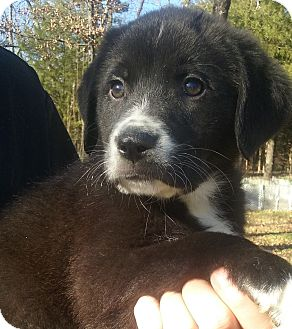 Great Pyrenees/Australian Shepherd Mix Puppy for adoption in Kittery, Maine - Briggs Jr
