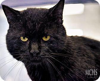 Domestic Shorthair Cat for adoption in Martinsville, Indiana - Abracadabra