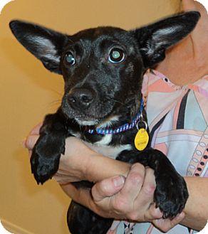 Corgi Mix Puppy for adoption in Bloomington, Illinois - Vixen