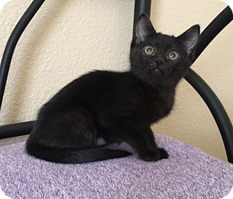 Domestic Shorthair Kitten for adoption in Plano, Texas - STORMY - CAUGHT IN A STORM!