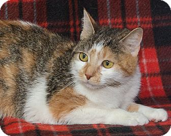 Domestic Shorthair Cat for adoption in Elmwood Park, New Jersey - Melody