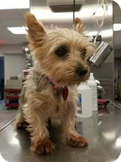Silky Terrier Dog for adoption in Ardsley, New York - Sweet Pea