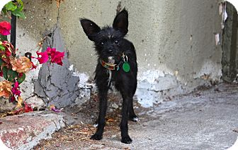 Terrier (Unknown Type, Small)/Chihuahua Mix Dog for adoption in Los Angeles, California - Amelia EARheart! 5 pounds