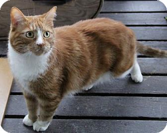 Domestic Shorthair Cat for adoption in Port Hope, Ontario - Marley