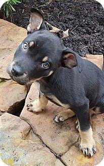Manchester Terrier/Australian Shepherd Mix Puppy for adoption in Conroe, Texas - Boston