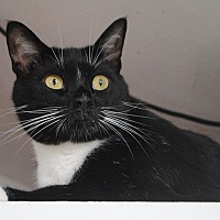 Domestic Shorthair Cat for adoption in Middletown, New York - Sully