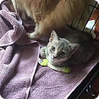 Domestic Shorthair Cat for adoption in Sugar Land, Texas - Grace