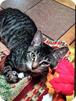 Domestic Shorthair Cat for adoption in Virginia Beach, Virginia - Shiloh