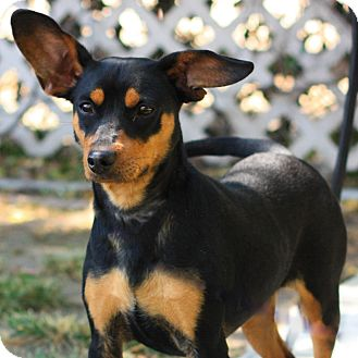 Miniature Pinscher/Terrier (Unknown Type, Medium) Mix Puppy for adoption in Stockton, California - Alex