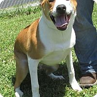 Pointer Mix Dog for adoption in Reeds Spring, Missouri - Rookie