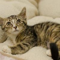 Adopt A Pet :: Mewstang - Dayton, OH