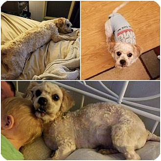 Shih Tzu/Poodle (Standard) Mix Dog for adoption in Allentown, New Jersey - Snowball