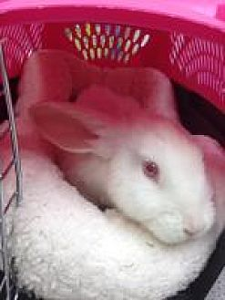 Lop, Holland Mix for adoption in Tampa, Florida - Leon