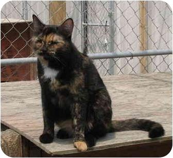 Domestic Shorthair Cat for adoption in Cincinnati, Ohio - Pandy & Vincent